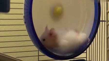 本以为仓鼠是想玩跑轮,没想到仓鼠这是玩累了