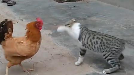 村里公鸡和猫打架,没有人能劝得住,真是厉害!