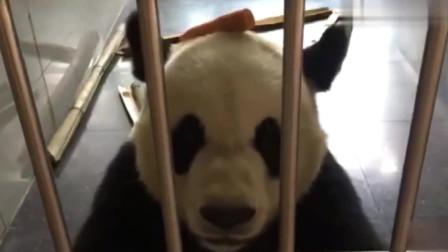 大熊猫金虎的吃播秀,头顶着胡萝卜真是可爱到没谁了,好想摸摸它
