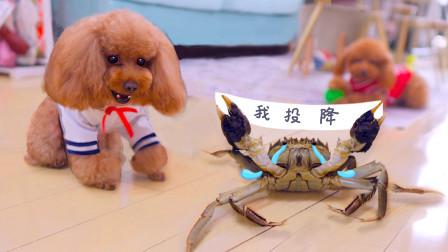 狗狗决战大闸蟹,才使出三招,螃蟹就举双手投降了!