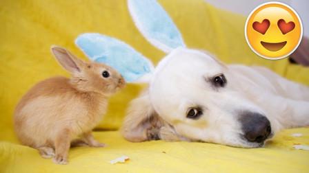 主人给狗狗佩戴上兔耳朵,不料狗子竟和小兔子抢胡萝卜,真是太萌了