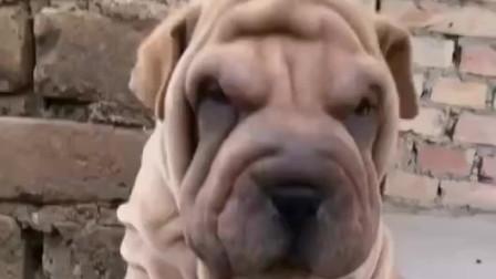 沙皮狗价格哪里有卖纯种沙皮狗的沙皮犬图片沙皮犬多少钱一只沙皮犬好养吗