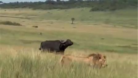 动物界的孝子,雄狮当面侵犯河马妈妈,河马儿子冲冠一怒