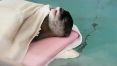 到点睡觉了,小水獭躺到小床上盖好毛巾,这也太可爱了吧