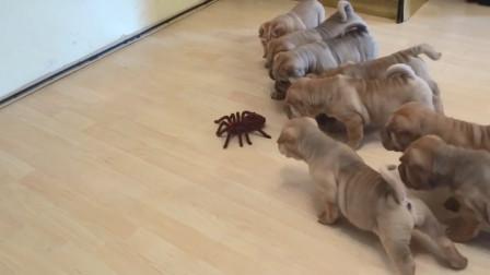 8只沙皮狗大战蜘蛛,谁会成为最终赢家呢?结局让人太意外