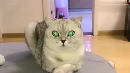 萌宠:喵星人团子生气了一直盯着主人看,瞧它的小眼神太可爱了,萌萌哒