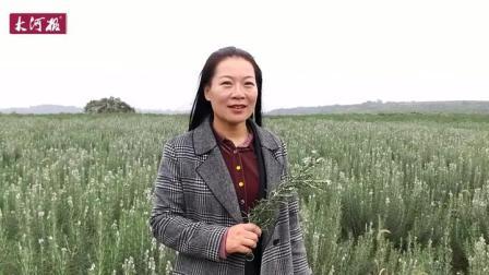"""河南洛阳:41岁女农民种8000亩迷迭香,甘心留农村编织""""芳香梦"""""""