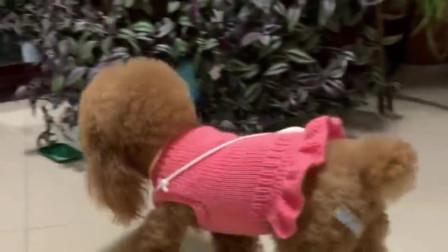 泰迪来米抢了小妹的玩具车就跑,主人说车上有毒,来米直接扔掉