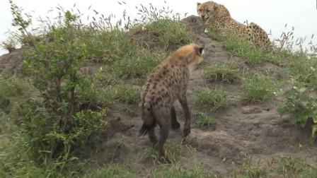 鬣狗发现一头受伤的猎豹,上前就想攻击,镜头拍下搞笑瞬间!