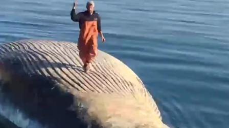 老外在鲸鱼尸体上玩耍,下一秒竟被十几条鲨鱼包围,网友:真作死!