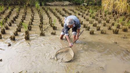 农村才有的生活乐趣,农村大叔带你田间抓鱼,回味童年抓鱼的乐趣
