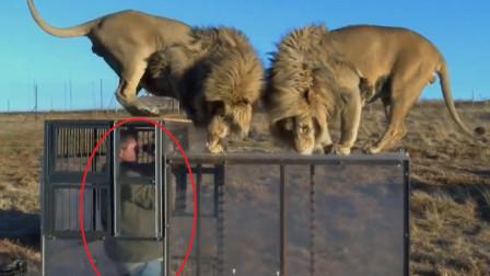 游客被装进笼子里,和狮子近距离接触,结果意外发生了