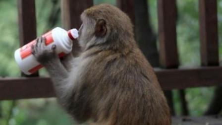 猴子一口气喝光整瓶酒,下一秒憋住别笑,镜头记录全过程
