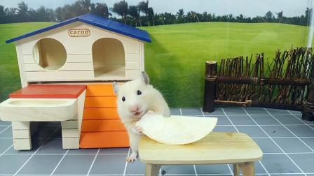 仓鼠有口福了,主人拿一个雪梨切成小片给小仓鼠吃