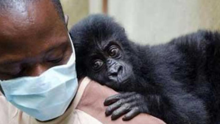 艾滋病始祖大猩猩,怎么感染给第一个人类的?看完终于知道了