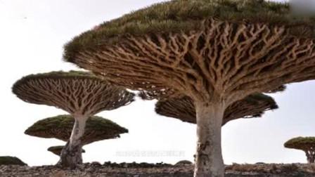 会流血的龙血树:濒临灭绝,被许多国家列为保护植物