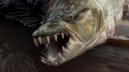 地球上最凶残的鱼将鳄鱼当食物最终却沦为人们的盘中餐