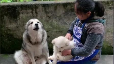阿拉斯加犬:快放开那只小狗,要抱你就抱我