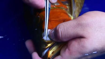 男子靠给金龙鱼美容致富,一条鱼收费上万,百万龙鱼死了包赔!