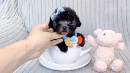 北京灰色泰迪多少钱一只纯种泰迪犬价格咖啡色泰迪犬图片黑色泰迪