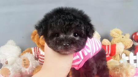 茶杯泰迪犬多少钱一只北京出售纯种小体泰迪犬红色泰迪幼犬咖啡色泰迪犬