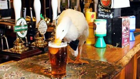国外鸭子成了老酒鬼,每天都要喝些酒,发起酒疯来敢去咬狗