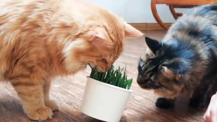 橘猫不愧是吃货领军者,吃草吃出大餐既视感:盆都要翻了