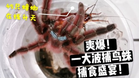 猎食盛宴!45只蟑螂命丧于此视频 爽到爆!