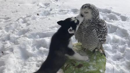 男子救回一只猫头鹰,却被狗狗宠上了天,网友:真是太有爱了!