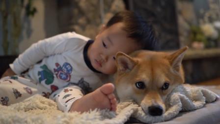 萌娃霸占柴犬的窝,狗狗顿时不高兴了,下秒请憋住不要笑