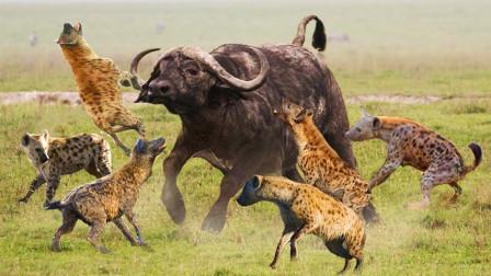 10只鬣狗围攻落单小野牛,小野牛惨遭撕咬,躺在地上酷苦苦哀嚎