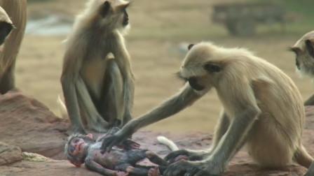 一人将仿真猴丢入猴群,猴子误以为自己失手杀猴,场面让人落泪!