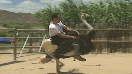 农场为吸引游客,举办鸵鸟赛跑比赛,网友:真是奇葩比赛!