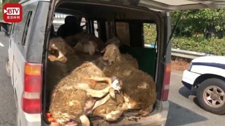 """7座面包车塞进15只羊 60只腿被捆一起的羊们""""生无可恋"""""""