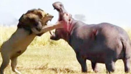 深夜雄狮偷袭河马,不料被河马一口咬碎头骨,怎么都活不成了