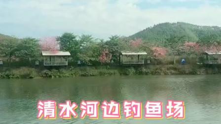 上林清水河边 最美丽的钓鱼场 红花影水莲天