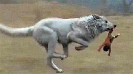 当野狼遇到人类婴儿,为什么不吃掉反而养大?专家说出背后隐情!