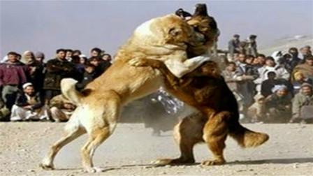 中国藏獒遭日本土佐偷袭,下一秒英雄崛起,将对手一击掀翻!