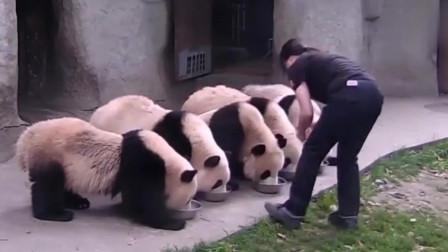"""萌宠:这只戴""""绿帽子""""的大熊猫火了,饲养员:你这是在给国宝丢脸啊"""