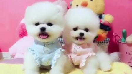哪有卖纯种博美狗 纯种博美俊介犬多少钱一只 买只小博美犬大概多少钱球体博美好养吗  在哪里能买到球体博美