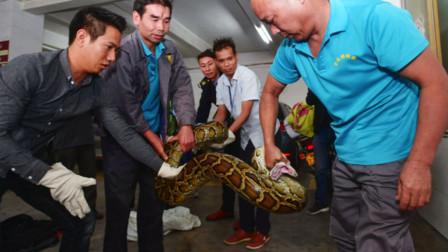 佛山一商铺天花板掉下40斤大蟒蛇 藏身天花板或有10年