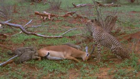"""这只羚羊简直就是""""戏精"""",装死从4只猎豹口中逃脱,简直太机智了"""