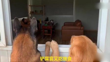金毛想偷酸奶,让马犬把主人引开,马犬被主人发现,成了替罪羊