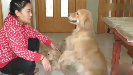 主人体罚小狗,金毛妈妈偷偷把笼子打开,给小狗喂食,感动