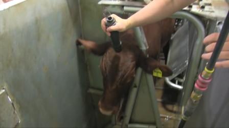 杀牛不见血,就连惨叫声都没有,网友:这种杀牛场面头回见