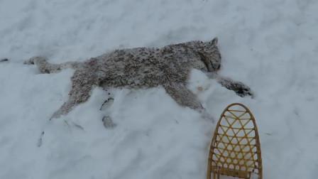 雪豹捕食不慎失足坠崖,被人发现时,已经成了这副模样!