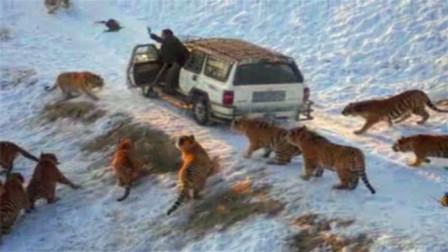 车子被老虎包围,接下来司机的一个举动,反而救自己一命!