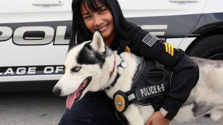 哈士奇为何不能做警犬,老外对自家二哈测试后,狗慌得不行