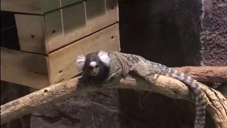 """山海经人面兽真的存在?动物园出现""""人脸""""猴子,太像了"""
