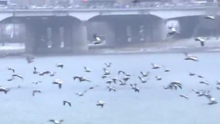 数千只水鸟飞抵吉林市越冬 新闻早报 20191117 高清
